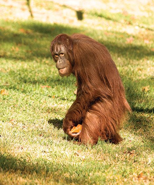 The Orangutan exhibit at Cameron Park Zoo